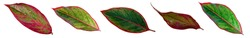 Red Aglaonema Siam Aurora leaves (Aglaonema Lipstick Plant) has green-red-yellow striped, red border and water drops. Chinese Evergreens are beautiful colorful leaves. Panorama white background.