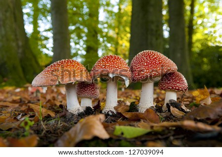 red Amanita muscaria in an autumn forest