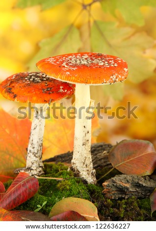 red amanitas with moss, on autumn yellow background