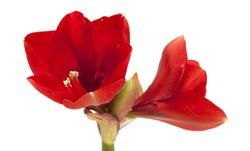 red Amaryllis AKA Hippeastrum flower isolated on white