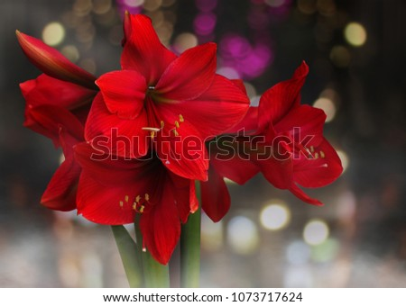 Red Amaryllis flower blooms with light bokeh background