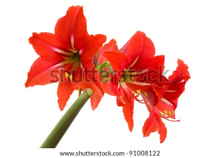 Red Amaryllis flower on white background