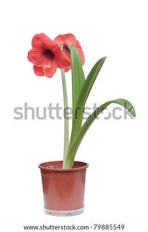Red amaryllis (hippeastrum) flower in flowerpot, isolated on a white background