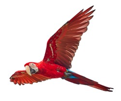 Red and big south american parrot  Ara macao, Scarlet Macaw, flying amazonian bird isolated on white background.