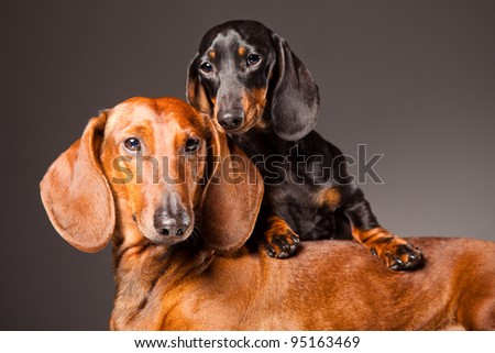 Red and black Dachshund Dogs posing on gray background