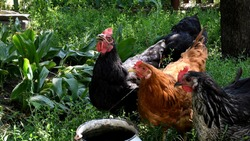 Red and black hens with red crests drink water and look into camera. Chickens graze in lush green herbs. Poultry farming