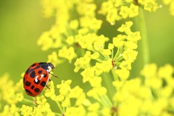 Red and black spotted ladybird beetle crawling on a parsnip plant on a warm sunny spring day