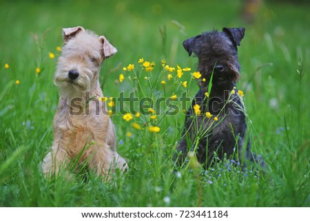 Red and blue Lakeland Terrier dogs sitting outdoors on a green grass with yellow flowers #723441184
