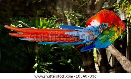 Red and blue macaw grooming while roosting on branch