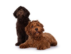 Red and chocolate Cobberdog aka Labradoodle pups, sitting and laying down together. Looking towards camera. Isolated on a white background.