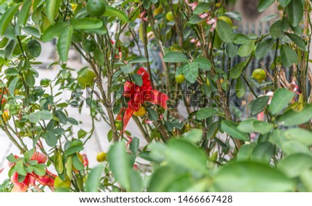 Red and gold ribbon wrapped into a bow attached to a lemon tree in preparation for some Chinese and Asian celebration and festivities