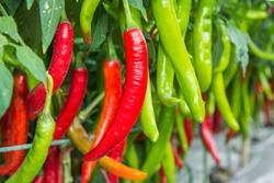 Red and green chilies growing in a vegetable  garden. Ready for harvest.