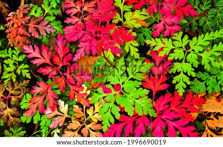 Red and green foliage view. Red leaves with green leaves. Colorful red green leaves background