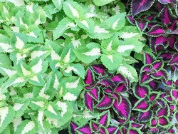 Red and green leaves of the coleus plant, Plectranthus scutellarioides