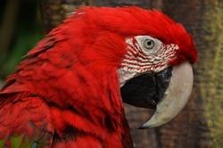 Red and green maccaw face at Taman Safari Indonesia