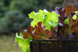 red and green oak lettuce salad