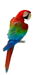 Red and green or green-winged macaw, beautiful parrot bird showing its back feathers profile isolated on white background