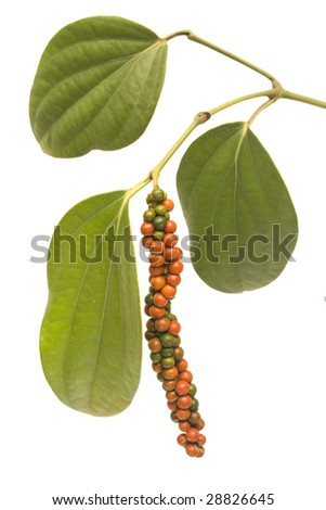 red and green peppercorn berries growing on a vine isolated with clipping path