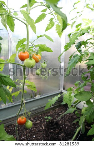 red and green tomatoes growing in a greenhouse - stock photo
