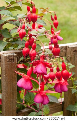 Red and mauve fuchsias cascading down a wooden fence