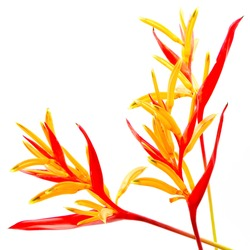Red and orange Heliconia flower, Heliconia psittacorum 'Rubra', tropical flower isolated on a white background