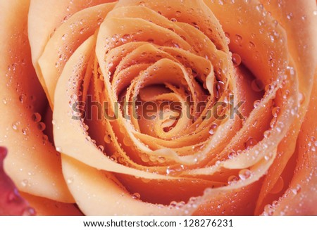 Red and orange rose flower close-up photo with shallow depth of field