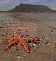 Red and orange starfish on the beach, Cape Town, South Africa