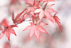 Red and Pink Autumn leaves closeup with vintage effect