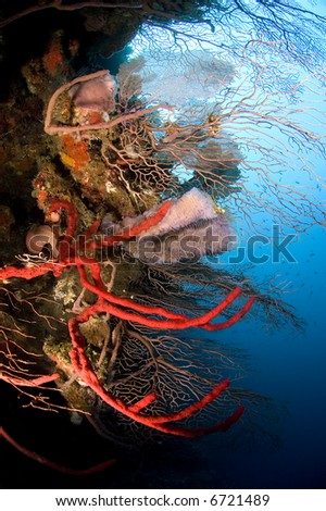 Red and pink corals and sponge cling to a deep water wall in Honduras