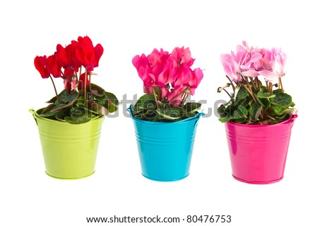 Red and pink Cyclamen plants in colorful little buckets