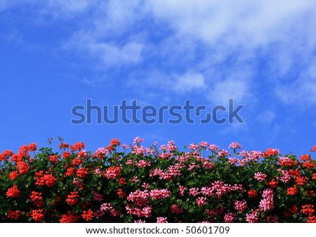 red and pink flowering geraniums against the blue sky