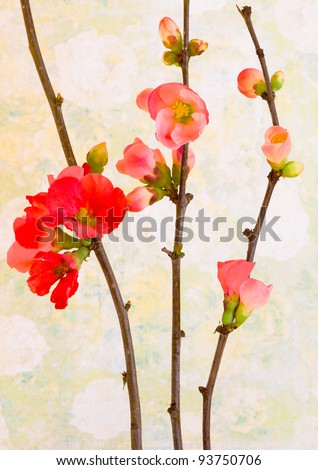 Red and pink flowers of Quince branches in Spring. Background of pale vintage wallpaper.