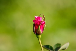 Red And Pink Rose and Rosepetals