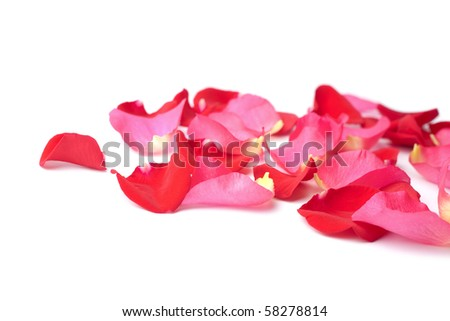 Pink Rose Petals. pink rose petals isolated