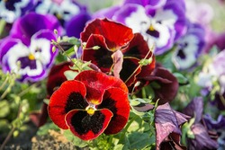 Red and purple pansies in the garden. Beauty in nature. Seasonal natural scene.