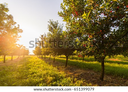 Red and sweet cherry trees in orchard - branch  in early summer