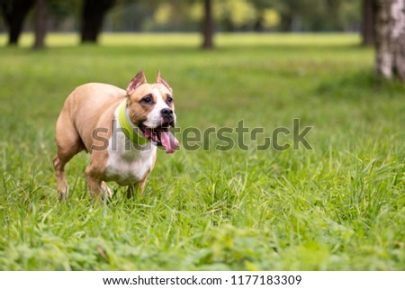 Red and white american staffordshire terrier with cropped ears walks outdoor at summer #1177183309