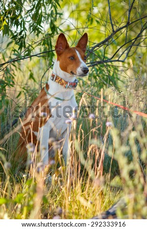 Red and white Basenji. Dog in the shadow of a field of grass.