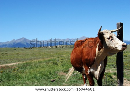 Red and White beef Cow in natural mountain valley