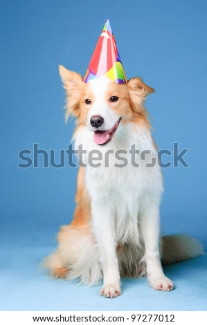 Red and white border collie in studio, Happy birthday