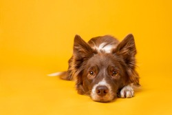 Red and white border collie on yellow background