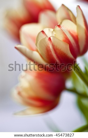Red and White colored tulips with shallow DOF