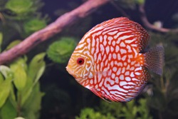 red and white discus (pompadour fish) are swimming in fish tank. Symphysodon aequifasciatus is American cichlids native to the Amazon river, South America,popular as freshwater aquarium fish.