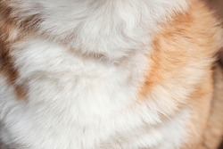 Red and white dog hair close up, screen saver on desktop. Fluffy, shaggy chest of Pembroke Welsh corgi.