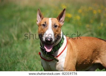 Red and white english bull terrier