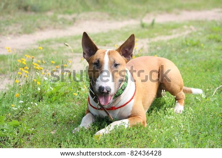 Brown And White English Bull Terrier White English Bull Terrier