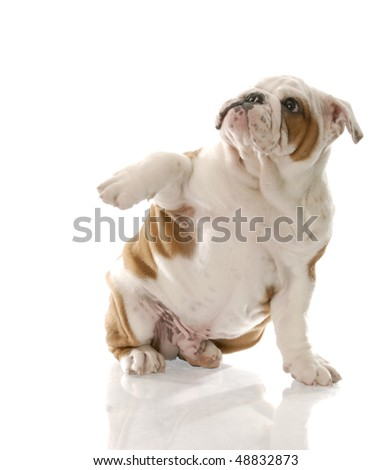 red and white english bulldog puppy looking afraid with reflection on white background