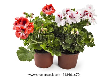 Red and white English geranium with buds in flowerpot isolated on white background #418461670