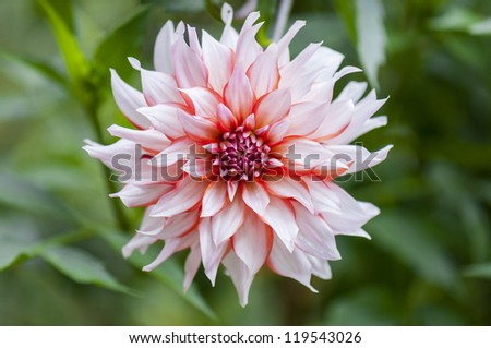 red and white flower dahlia