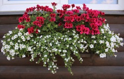 Red and white flowering plants in a flower box in the window sill . Geranium, petunia and bacopa flower growth in pot .